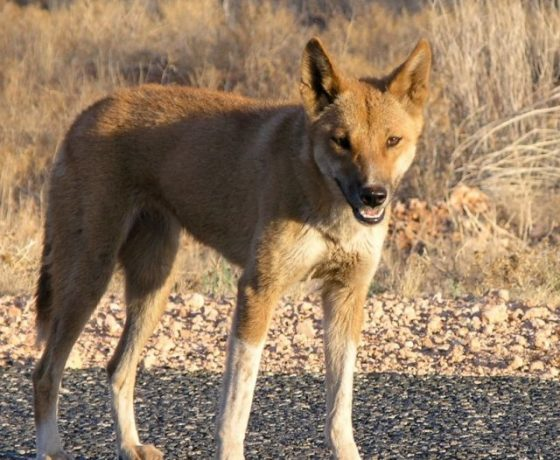 The wide ranging largest terrestrial predator in Australia, the Dingo. Regarded as a pest to farmers while a cultural icon to others, particularly in traditional Aboriginal communities