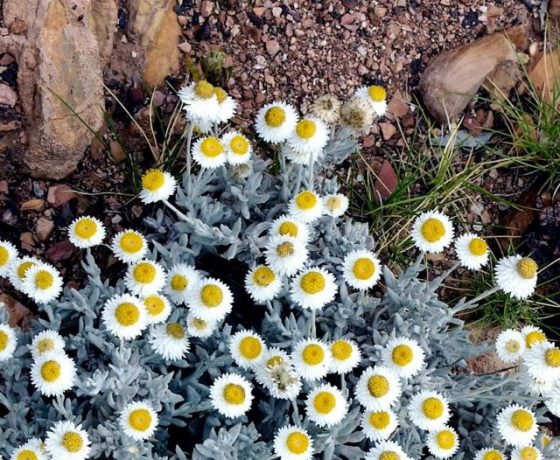 "One of 1000 species of daisies in Australia, here the ""Poached Eggs"" make a startling trail-side showing in the sand and gravel under foot"