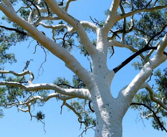 Survivor in the harsher desert regions this Ghost Gum (400 yrs old) wraps itself in bark designed to reflect the heat of the hottest days