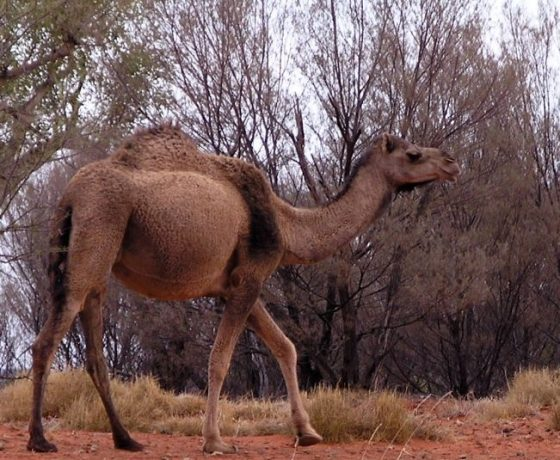 One of 600,000 or more camels now roaming wild following the original working stock imported to assist exploration and settlement of the remote desert lands