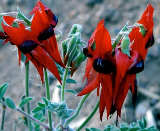 1115 species of Pea Family wildflowers grow in Australia, this one the Sturt's Desert Pea offering a prolific showing in the dry desert heartlands