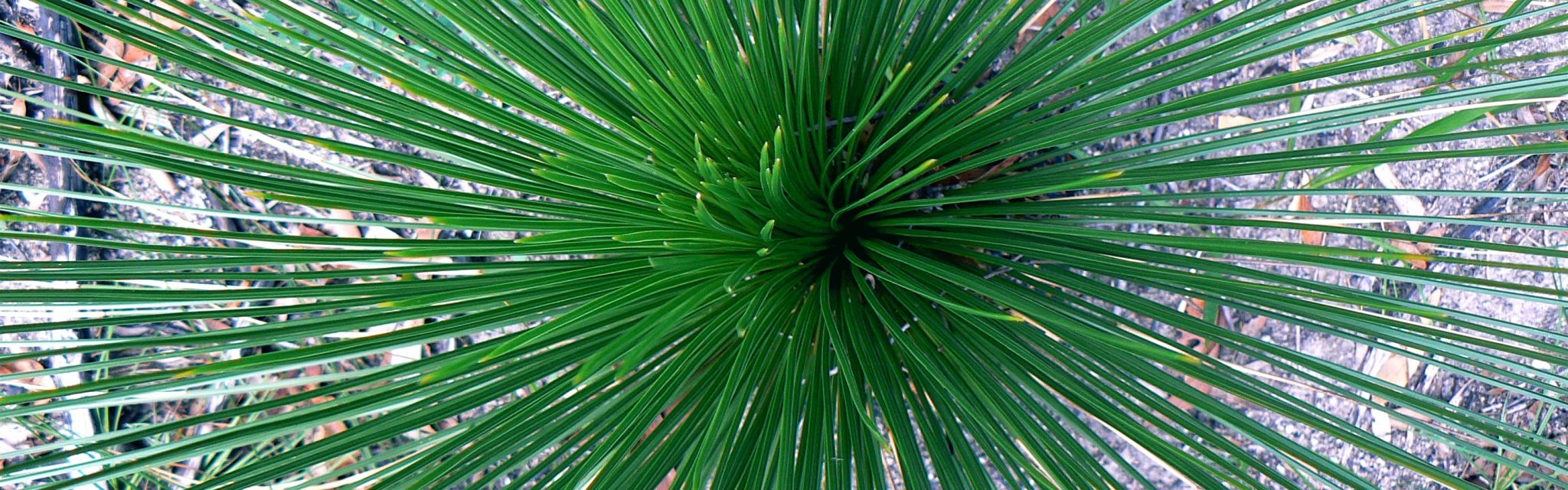 Looking deep into the centre of a Grass tree typical of the Australian bush and Great Divide Tour