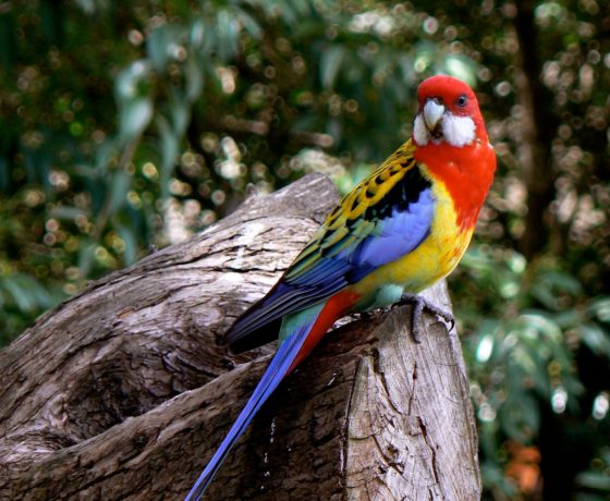 Australia is blessed with colourful and gregarious birds approx 850 species some prolific and others endangered. Here the Eastern Rosella drops by to check us out