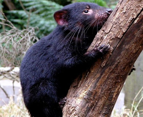 Symbol of Tasmania's wild, a Tasmanian Devil on a precarious exploratory mission