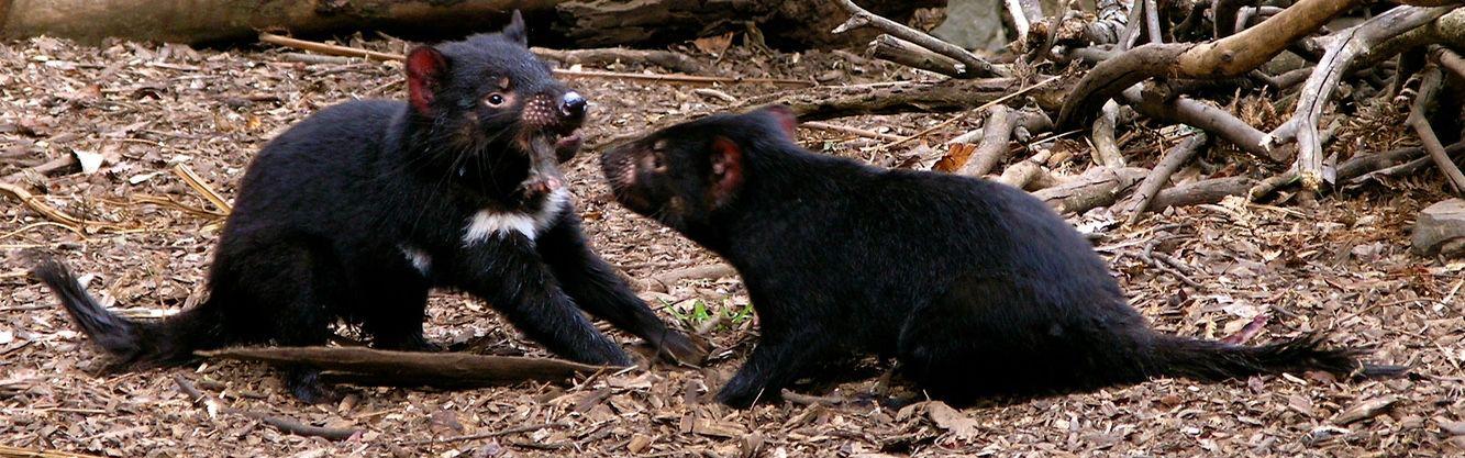 Tasmanian Devils tearing their food apart seen during Tasmania National Parks tour