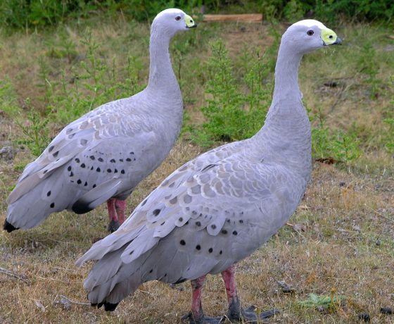 Proud and beautiful Cape Barren Geese once plundered, now a rarity, seldom swim but can be seen grazing happily in the protection of Maria Island