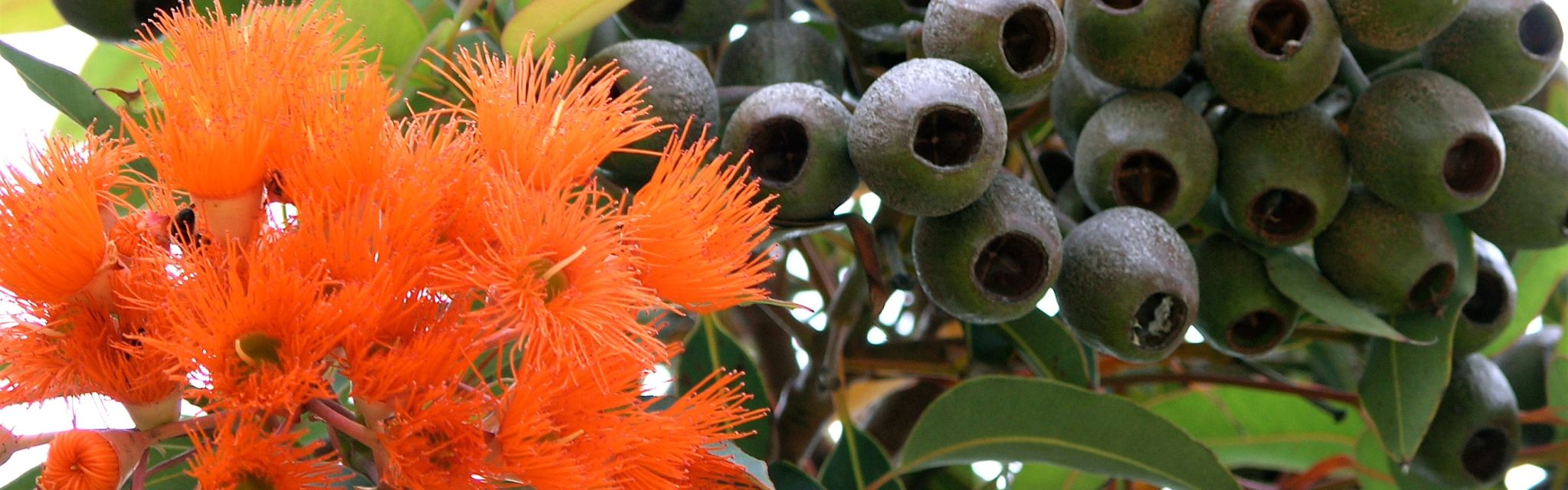 Gumnuts and Blossoms from a Nature Bound Australia tour