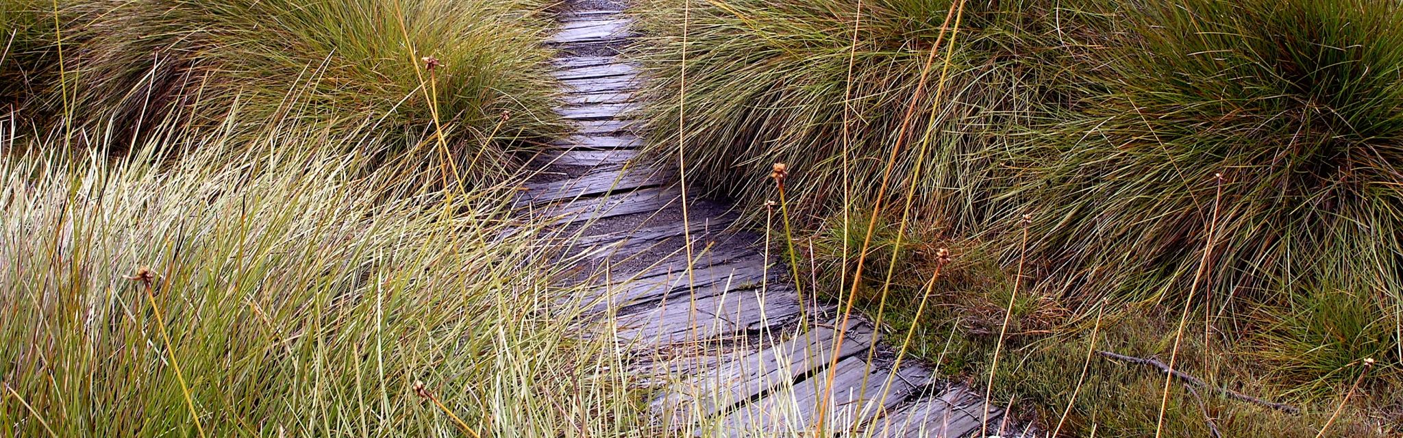 Board walk through the Tasmanian Button Grass on our Australian Guided Walking Holidays