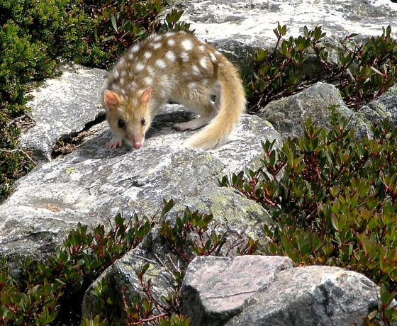 Eastern Quolls, the carnivorous marsupials provide a life enriching encounter for walkers on the overland track near Cradle Mountain and beyond.