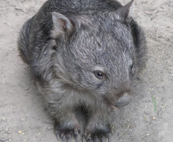 A visit to Cradle Mountain is rewarded by sightings of the burrowing marsupial, the Common Wombat, native of Australia