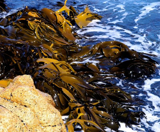 Forests of Giant Kelp lap the shore of Tasman Peninsula but sea warming has rendered them endangered