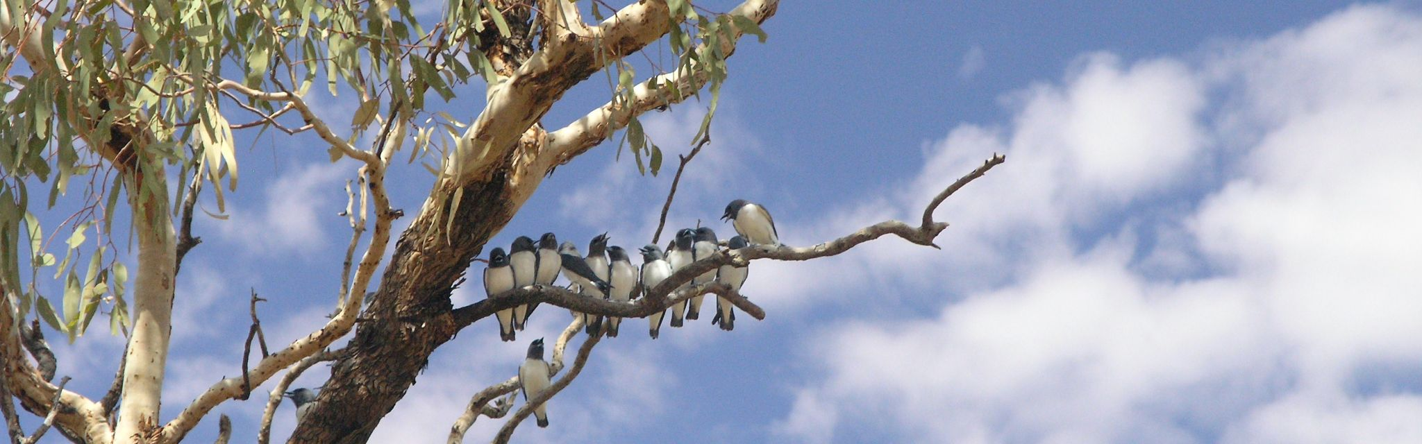 Wood Swallows of the Big Rivers Outback Tour