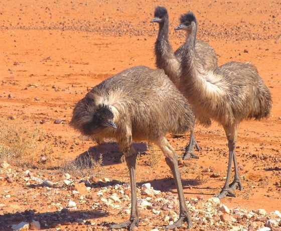 Emus are certain creatures of curiosity. Along with big red and grey kangaroos and eagles they range in large numbers throughout the Sturt National Park we traverse en route to Cameron Corner