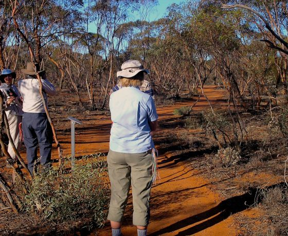 A distinctly different ecosystem known as the Mallee Woodland, with its multi-stemmed Eucalypt trees, is known for its variety of reptiles, the shy and wary, mound building Malleefowl