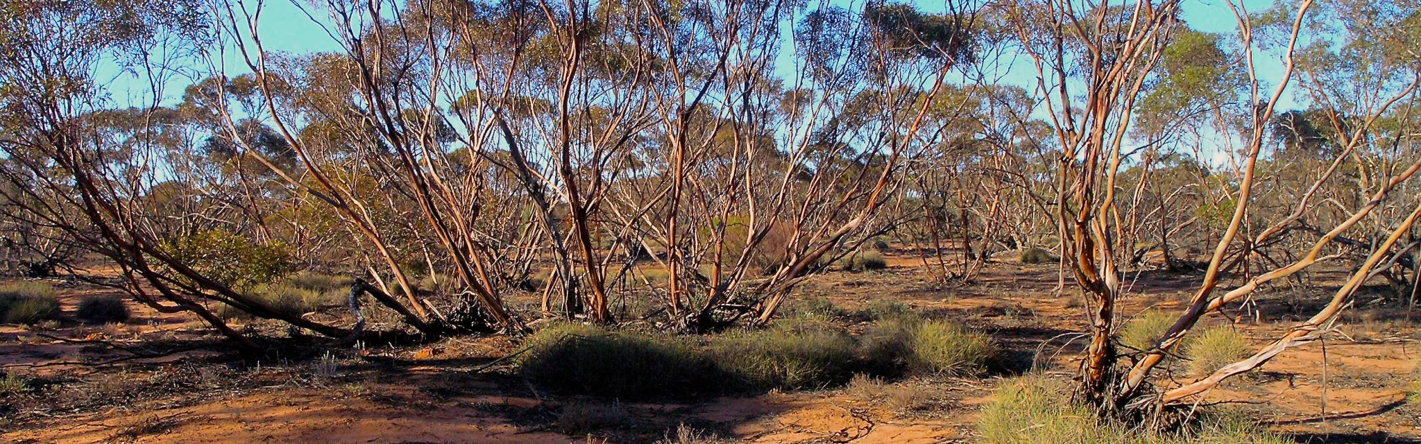 Mallee Scrub Mungo National park Big Rivers Outback Tour