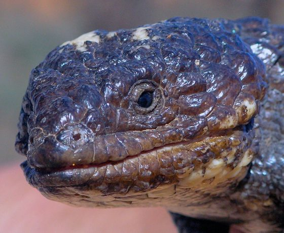 The slow moving Shingleback Lizard's best defence against Dingoes, Foxes and other predators is its blue tongue and confusing look alike head and tail