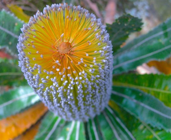 Finely designed Banksias and a prolific showing of wildflowers adorns the sandstone regions and woodlands around Sydney