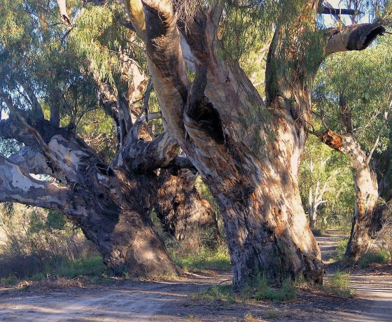 The trail winds through magnificent River Red Gums along the banks of the Darling River