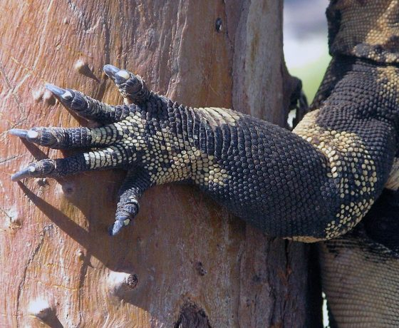 The Lace Monitor or Goanna can grow up to 2 m long and weigh 20kgs, foraging for prey 3 kms a day. With claws to grip it is an agile tree climber