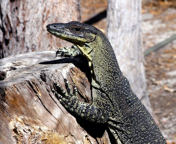Scavenging Sand Goannas frequent the visitation points of travellers on world heritage Fraser Island