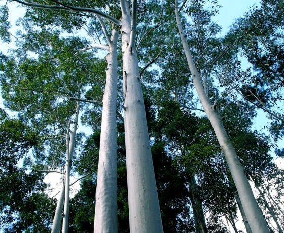 Growing in sand on the worlds largest sand island, the towering forests of Flooded Gums and Satinay call for some astute biological reasoning