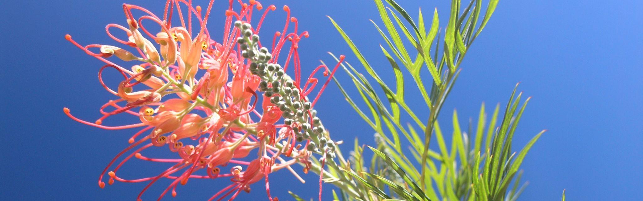Red Grevillea unique flora in understanding about Australia
