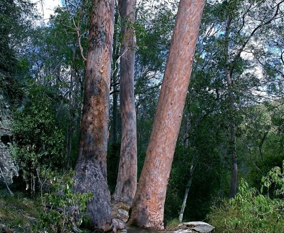Australian trees are distinct for their variety of bark, leaves, flowers and ability to survive flood. fire and drought, their evolution from Gondwana times when Australia was connected to Antarctica