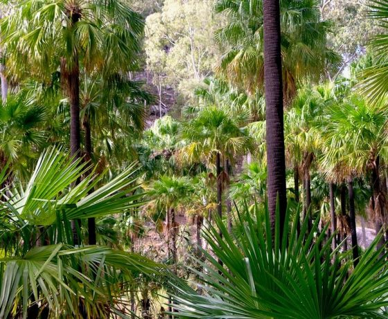 The palms of Carnarvon Gorge create an idyllic walking environment, an oasis retreat in an otherwise dry inland
