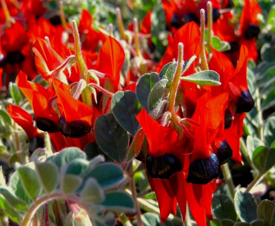 1115 species of Pea Family wildflowers grow in Australia, this one the Sturt Desert Pea offering a prolific showing in the dry desert heartlands
