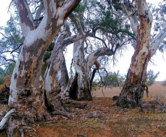 Magnificent River Red Gums are located along the Flinders Ranges dry water courses, where occasionally flood waters flow