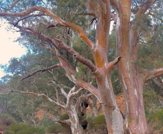 Over 800 species of Eucalyptus Trees are endemic to Australia and all have a character of their own with an abundance of bird and wildlife dependent on them for shelter and food
