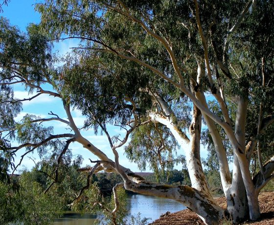 Magnificent River Red Gums line the legendary Cooper Creek, a pristine wild river where early exploration ended in tragedy for the Burke and Wills expedition of 1860-61