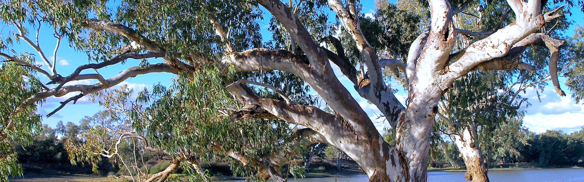 River Red Gum on the banks of Cooper Creek, visited on the Corner Country Outback Tour