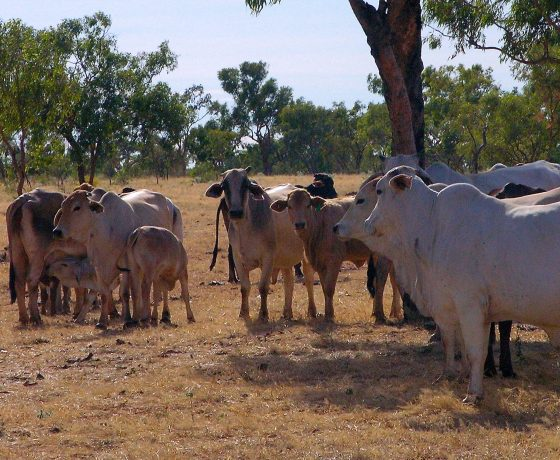 No inland journey is complete without the sight of Brahman families grazing freely in the open woodlands, a typically relaxed pastoral scene