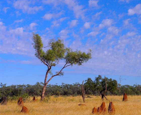 The Queensland inland pastoral grazing country is dotted with ant hills and termite mounds, nature's engineering masterpieces