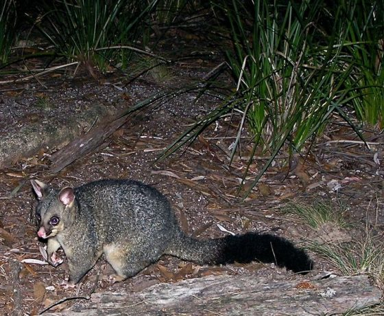 The nocturnal Common Brushtail Possum is an agile climber using tree hollows, rabbit holes and domestic roof spaces as dens marking their territory with secretions from scent glands, often in conflict with humans