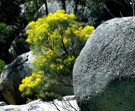 Australia's floral emblem the golden wattle having 750 species across Australia brings screens of colour to the bush in season and a powerful reminder to Australians, they are home.