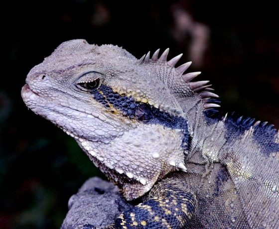 Motionless while sunning itself on a creekside rock, the warrior look of the Eastern Water Dragon is stunning. If threatened, the flight to safety in water or debris is blistering