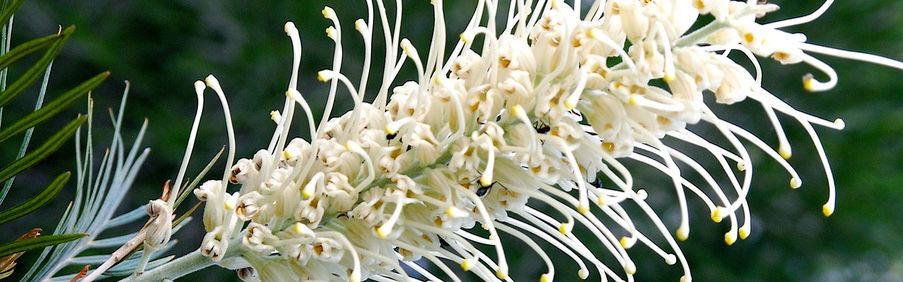 White Grevillea Flower photographer of a Nature Bound Australia tour
