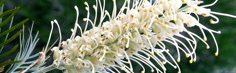 White Grevillea Flower photographer of a Nature Bound Australia tour