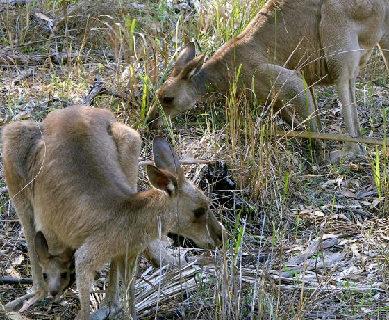 Mum, Dad and baby Joey. This Grey Kangaroo Family graze unconcerned beside the walking trail winding through Carnarvon Gorge - your moment to connect with nature