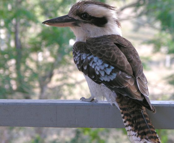 Once voted to be Australia's most popular wildlife creature, the Laughing Kookaburra brings joy to the soul with its territorial calls from sun-up to night fall