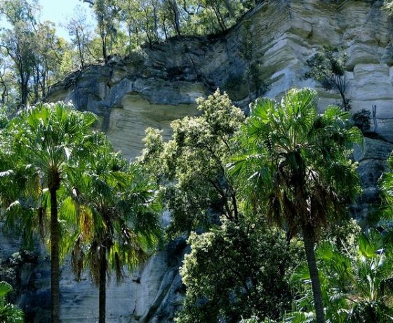 The trails through Carnarvon Gorge meander from bluff to bluff of sculptured sandstone, through Cabbage Palm and Casuarina groves to the entry of feature side canyons.