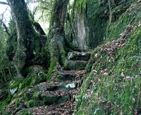 Step way back in evolutionary time through the ancient Gondwana Rainforest of New England National Park its gnarled Antarctic Beech Trees moss gardens, snow gums and grasses.