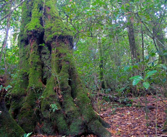 """In remnant Gondwana Rainforests along the East Coast of Australia small pockets of Antarctic Beech trees survive,  gnarled """"old man"""" specimens of ancient descent."""
