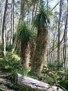 Unique Pandani plants, tallest heath in the world
