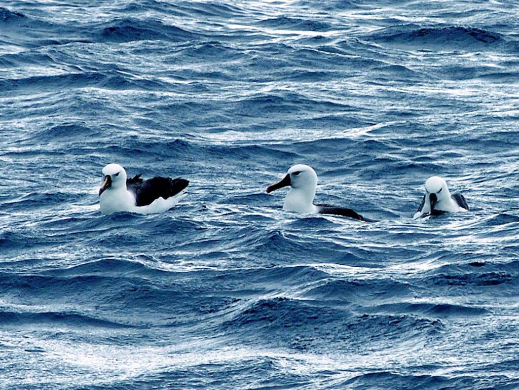 Floating on the sea with Yellow-nosed Albatross - wing-span 2 metres
