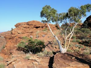 Typical arid country Ghost Gum admired on the rim walk of Kings Canyon