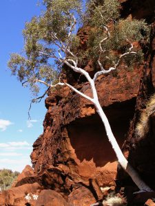 The Ghost Gum is a stand-out against the rich red gorges of Central Australia