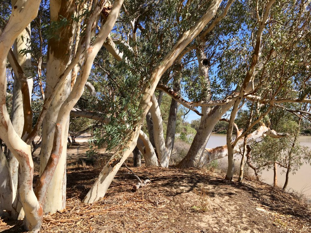 River Red Gums shade the sites of Burke and Wills graves, eerie serenity following their tragic expedition conclusion